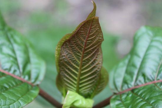 kratom_leaf_top