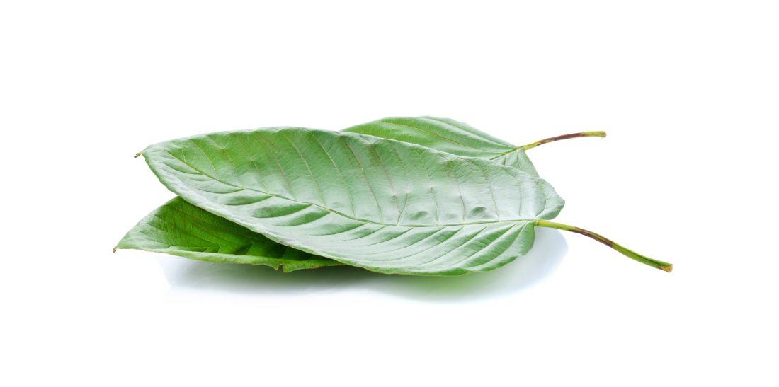 mitragyna speciosa korth (kratom)