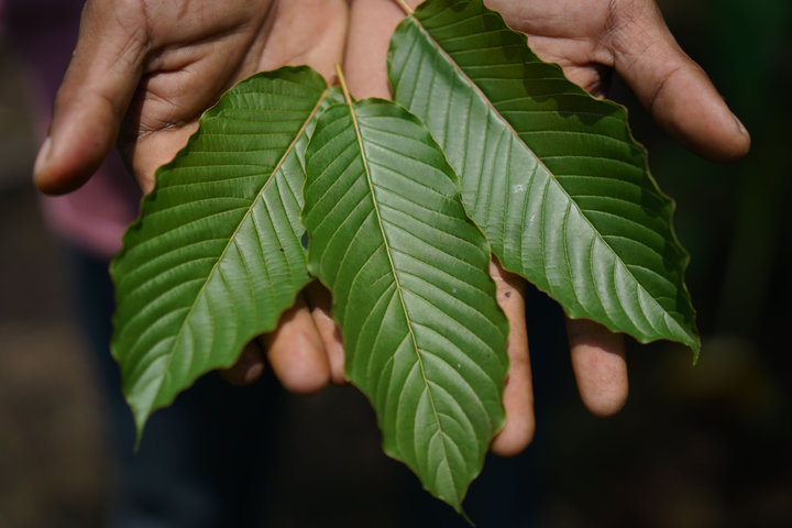 Kratom leaves are displayed for a photograph in Pontianak, West Kalimantan, Indonesia, on Saturday, May 5, 2018. Kratom, a coffee-like evergreen that Southeast Asian farmers have long chewed to relieve pain, is one of the hottest local commodities thanks to the opioid epidemic in the U.S. Photographer: Dimas Ardian/Bloomberg via Getty Images
