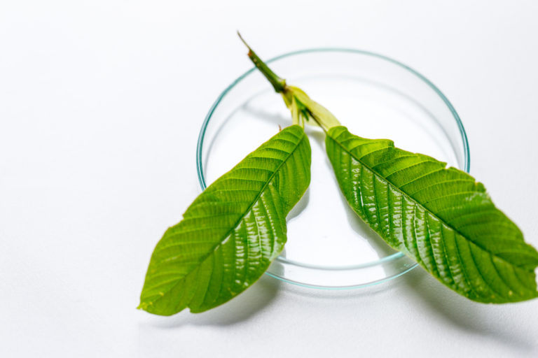 Science Research leaves of Mitragyna speciosa (kratom) and Chemical analysis  in Lab.