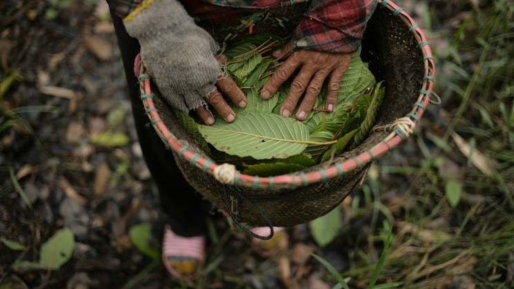 kratom.indonesia.getty.images